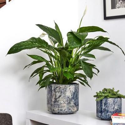 PATCH PLANTS | Peace Lily - 80 cm